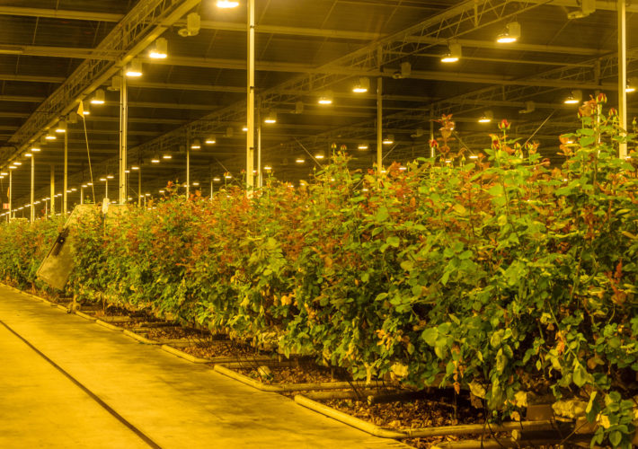 Cannabis greenhouse with assimilation lighting